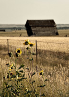 Wild Flowers and Barn